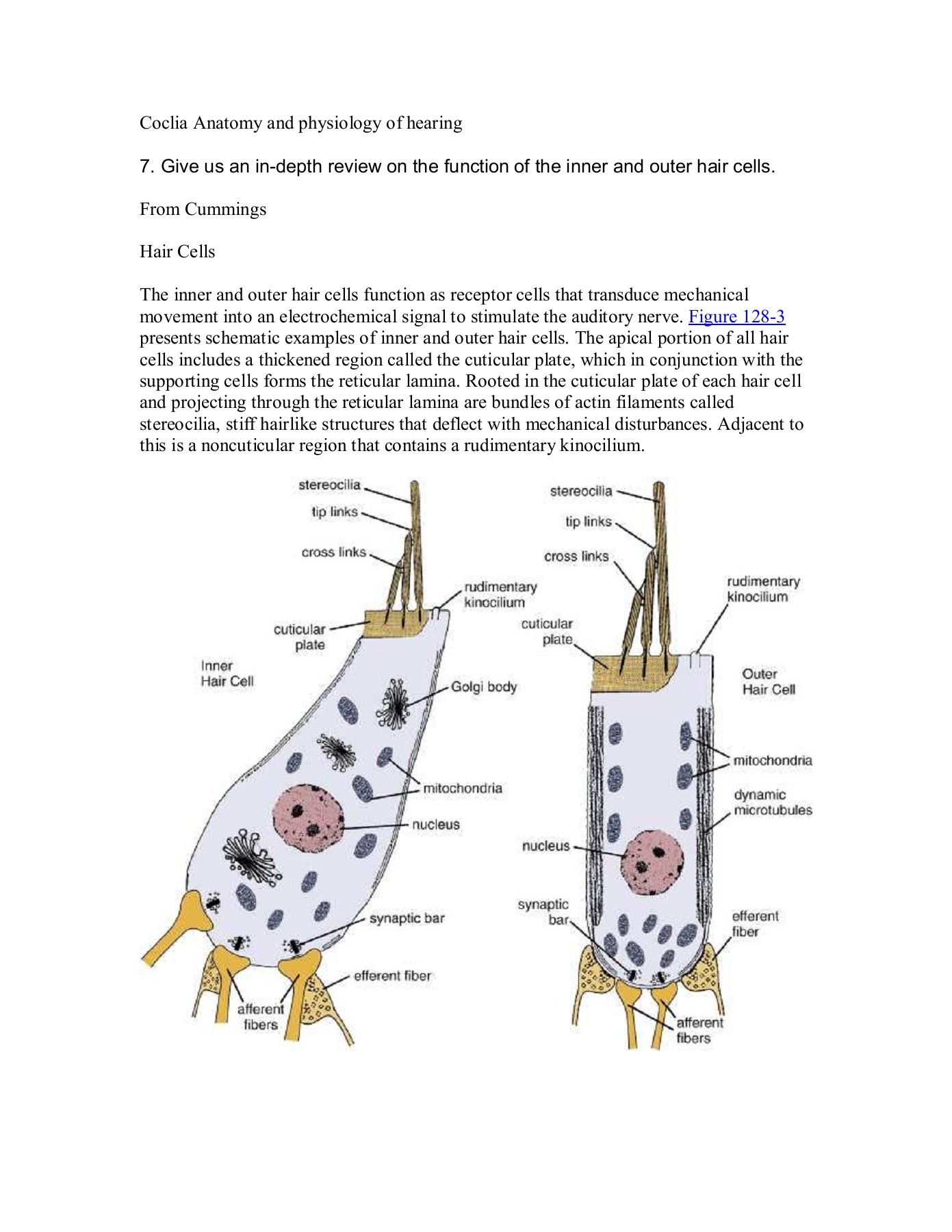Coclia Anatomy And Physiology Of Hearing